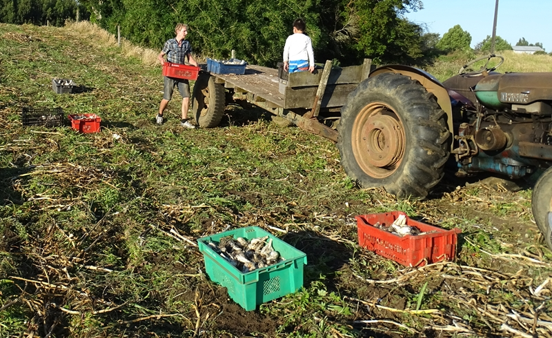 Freddy harvesting garlic
