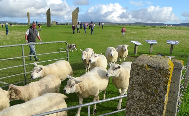 Sheep at Standing Stones of Stromness (Orkney)