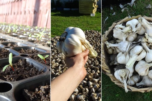 Garlic and seedlings