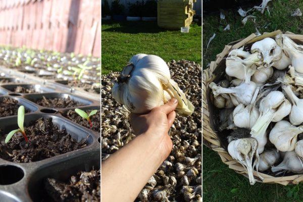 Garlic and seedlings