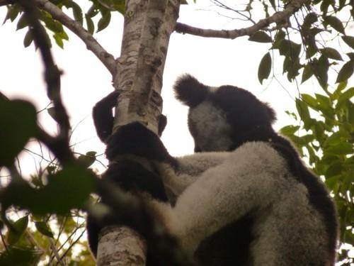 De Indri, de grootste lemursoort en stuwende kracht achter het Ecotoerisme